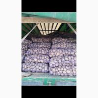 Продам картошку оптом, сорт: славянка, Белла Росса