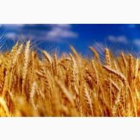 Семена пшеницы Нива Одесская, урожайность 79-102 ц/га