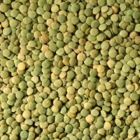 Семена чечевицы зеленой, сорт Линза 1 репродукция