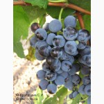 Продам виноград изабельных и гибридных сортов