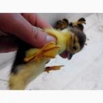 Індокачки, качки мускусні, шипуни чорні, білі і красні. (индоутки, утки мускусн