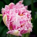 Продам луковицы Тюльпанов Махровых + Бахромчатый