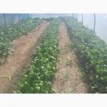 Продам свежий шпинат от производителя мелким оптом