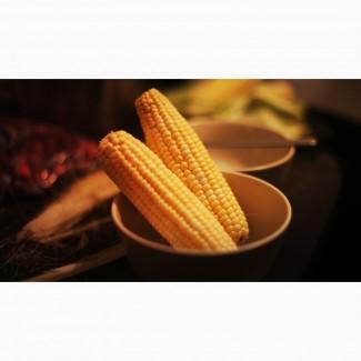 Закуповуємо кукурудзу оптом