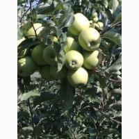 Продам яблоки из собственного сада