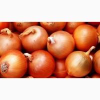 Продаю семена лука Гермес на развес оптом и в розницу. Семена хорошего качества