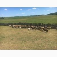 Продам стадо овец 138 голов романовская порода