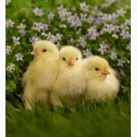 Добові курчата бройлери