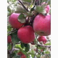 Продам яблука оптом у великій кількості