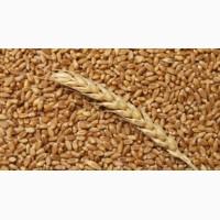 Закупаем проблемную пшеницу