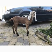 Продам коз Англо-нубийской породы 100%