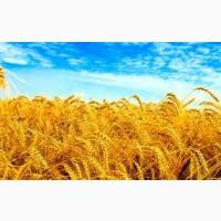 Купуємо пшеницю продовольчу та фуражну