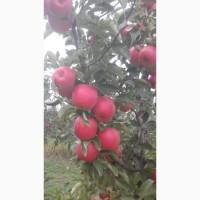 Продам яблоки из собственного сада, урожай 2020 года