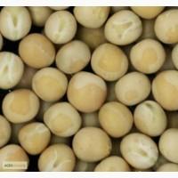 Горох посівний жовтий вусатий сорт Мазепа безлисточкового типу, ЕЛІТА