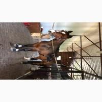 Лошадь. Мерин. 170 см. Немецкий паспорт