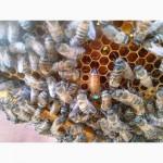 Пчелопакеты, пчелосемьи, пчеломатки, Бакфаст 2016
