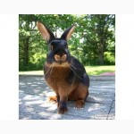 Продам племенные кролики черно огненные