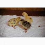 Перепела молодняк феникс золотистый - бройлер (франция)