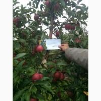 ФХ реализует яблоки оптом. 1-й Сорт. Гала, Джонаголд, Глостер. Отличное качество. Звоните
