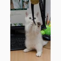 Британские серебристые котята от титулованных родителей