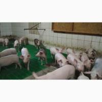 Продаем поросят породы мясной породы на откорм