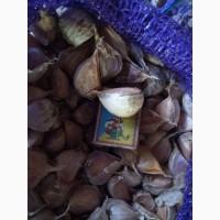 Продам (семена чеснока) насіння часника Любаша 1 репродукції