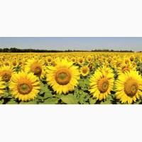 Насіння соняшнику Толедо SU (толерантний до гранстару)
