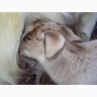 25%нубийские козлята