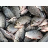Продам речную рыбу оптом: лещ, судак, тарань, окунь, густера, толстолобик