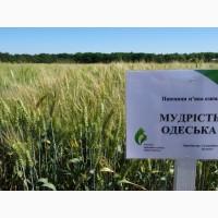 Семена озимой пшеницы Мудрость Одесская, урожайность 76-115 ц/га