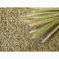 Продам жито (рожь)