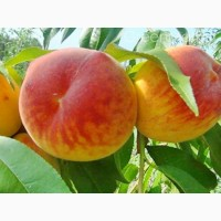 Продам персик Коллинз и Ред Хевен (оптом) с сада