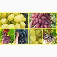 Саженцы винограда более 200 сортов