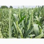 Продам пшеницю 1-2 класу