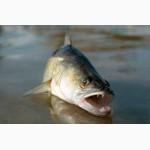 Свежий судак любым оптом. Свежая рыба- судак от +700. Возможно охлаждение, заморозка