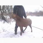 Продам овец гисарской породы