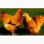 Яйця інкубаційні м ясо-яєчних курей Ред Бро Угорщина імпорт