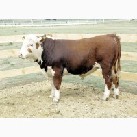 Заготівля. худоби (Жмеринський, Барський, Шаргородський і сусідні райони)