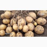 Продадим большими объемами картофеля