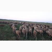 Срочно продам стадо овец Меренос-Асканийский 250 голов