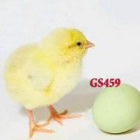 ДОМИНАНТ Яйцо для ИНКУБАЦИИ. Выход 80%, купить яйцо курей Доминант цена 13 грн