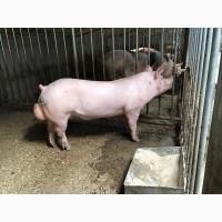 Племінний молодняк зі свинокомплексу