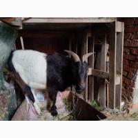 Продам козла короткоухого(ламанча)цап коза