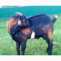 Англо нубійський козел В#039; язка Англо нубийский козел Англобийские кози