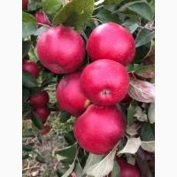 Продам яблука Айдарет та Монтуан
