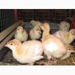 Продам индюшат и яйцо инкубационное тяжелого кросса! Породы БЮТ-8, БИГ-6