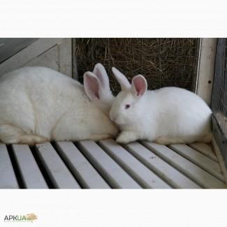 Предлагаются вниманию кролики на продажу мясных пород