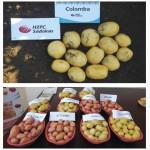 Насіннева картопля мілким оптом. Лабела, Агата, Бела Роса, Шері та інші