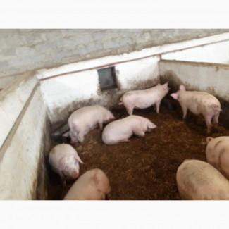 Продам свині