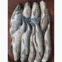Рыба свежемороженая из Аргентины
